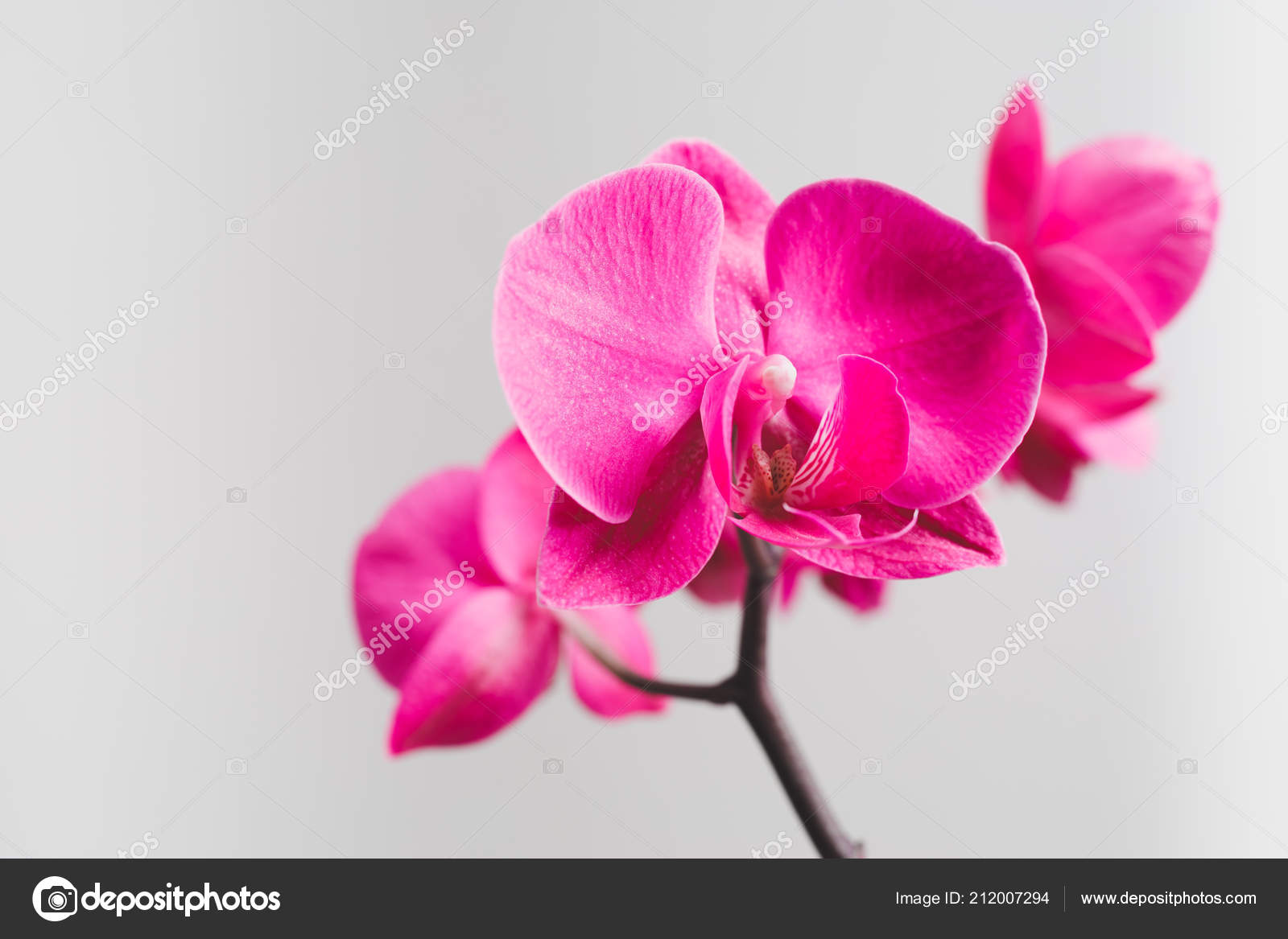 Pink Orchid Flower Close View Stock Photo Nikkytok 212007294