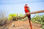 červený šarlatový papoušek (Ara Macao) na pobočce ve zvířecí Zoo