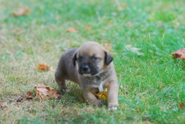 three weeks mixed breed puppy on a grass in autumn