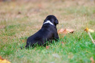 three weeks mixed breed puppy on a grass in autumn, image