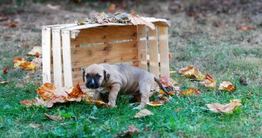 cute puppy in a wooden fruit crate