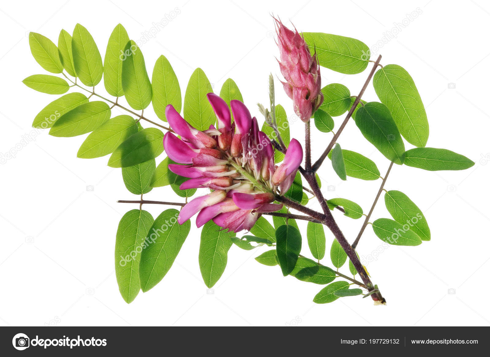 Little Spring Twig Acacia Tree Pink Flowers Isolated White Studio