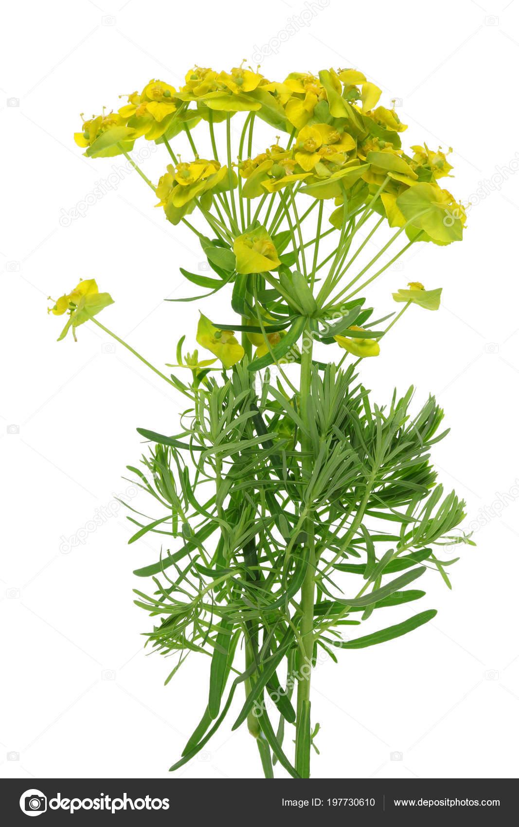 Euphorbia Garden Weed Plant White Caustic Poisonous Juice Spring