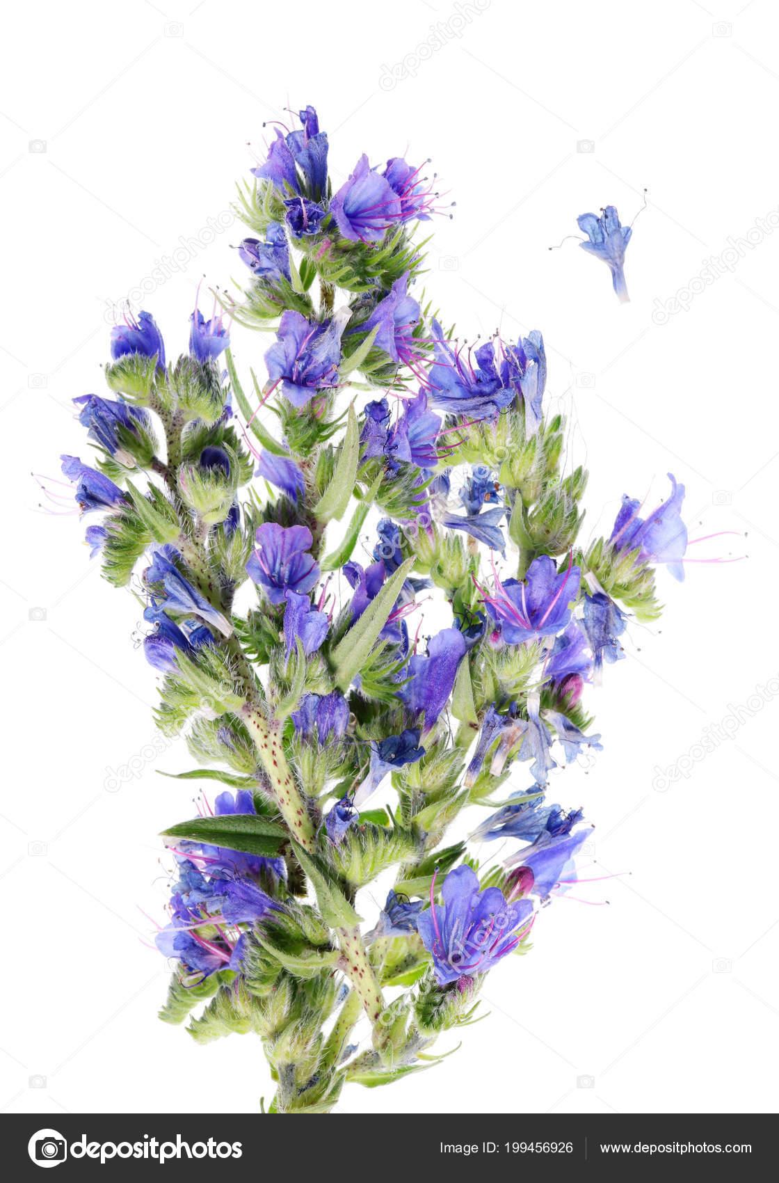 run shoes order online detailed pictures Cette Fleur Barbarie Cloches Bleu Pousse Sur Les Prairies ...