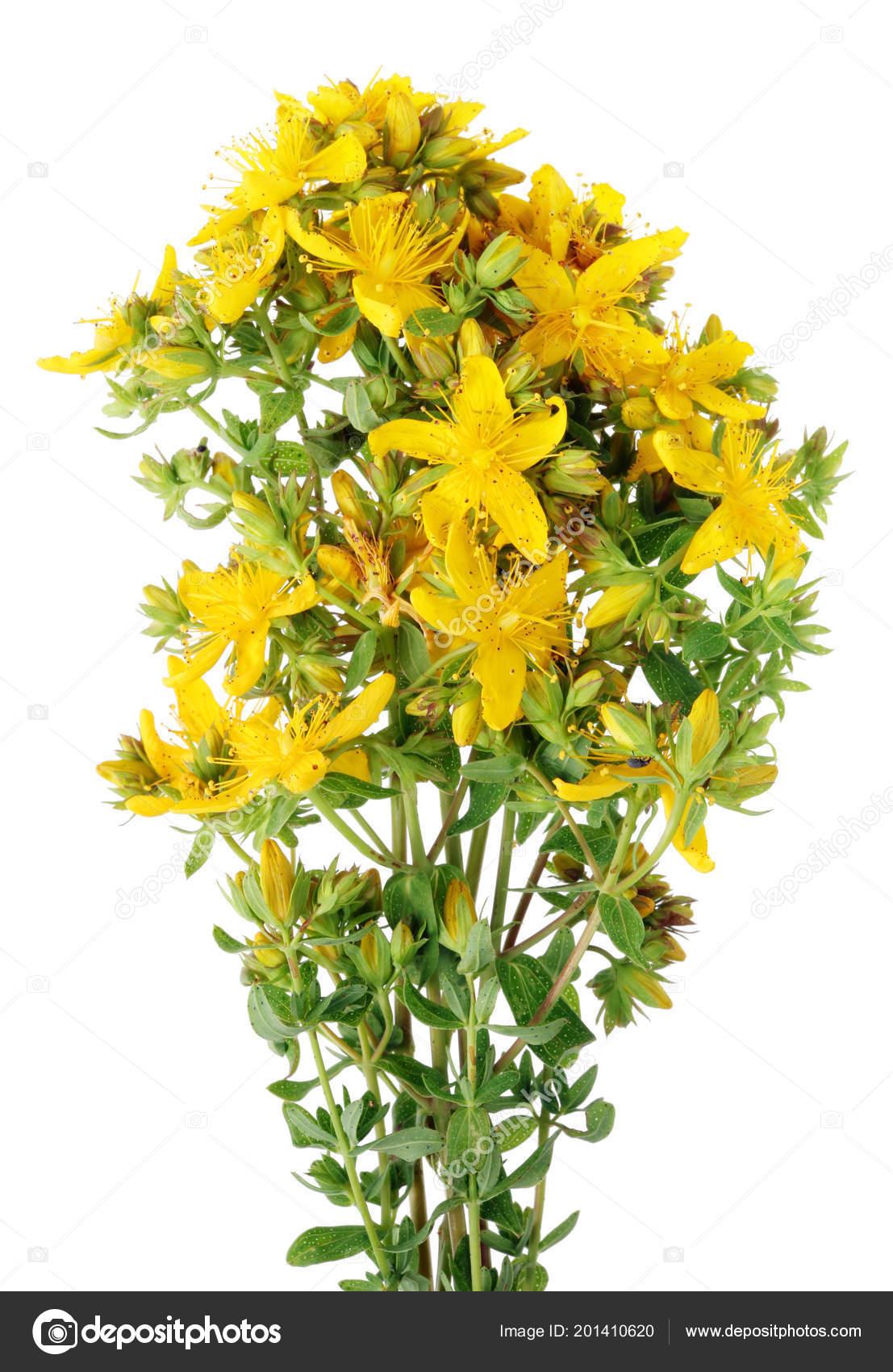 Planta Medicinal Hierba San Juan Flores Amarillas Fragantes Esta