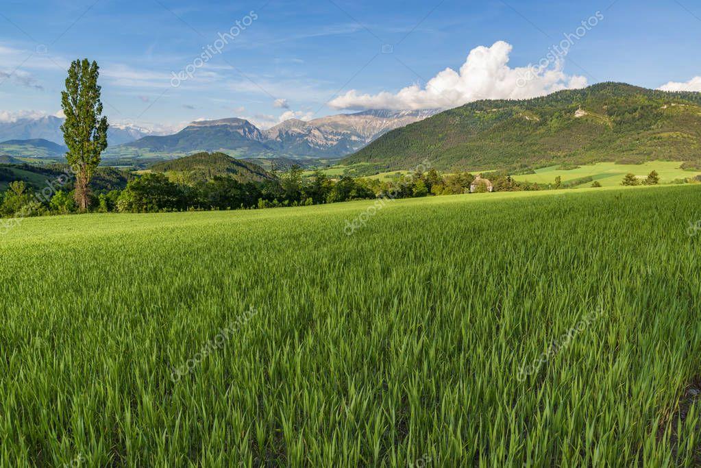 Wheat fild on alpine meadow. Provence, France