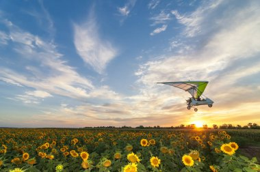 Beautiful sunflower field on a sunset with hang glider motor tri