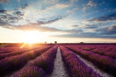 Shot of beautiful landscape of lavender fields at sunset with dramatic sky.