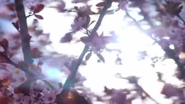 Pink cherry flowers blooming in springtime