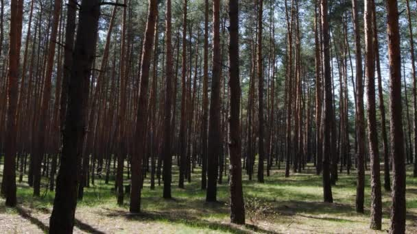 Beautiful nature, pristine forest with long trees trunks