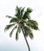 Low Angle View Of Green Coconut Palm Tree Against Sky