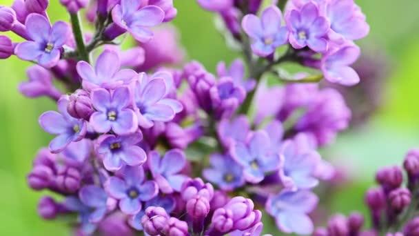 Příroda kvetoucí šeříkové květy na pozadí.