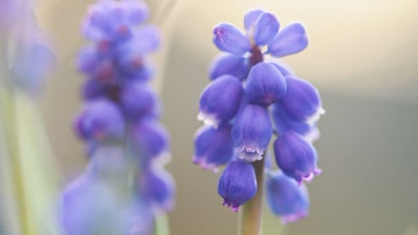 Close-up of blue flowers Muscari.