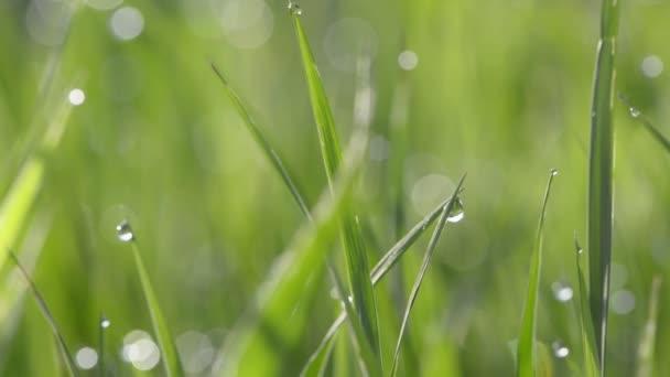 zelená tráva s kapkami vody