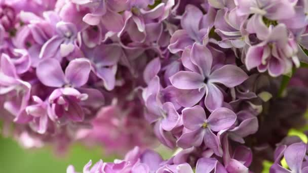 Gyönyörű orgona virágzó természetes háttér