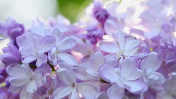 Krásné šeříkové kvetoucí přírodní pozadí