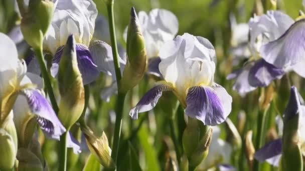 Bílé a fialové květy duhovky