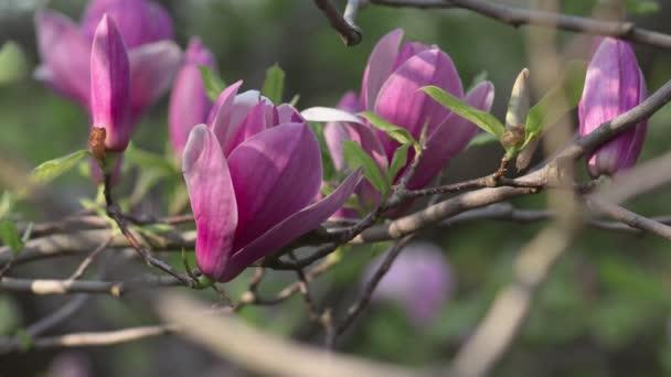 Krásná Magnolia květiny jarní květ