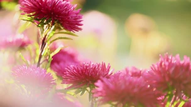 Podzim fialové astrové květy detailní up