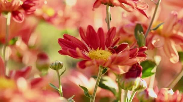 Krásné červené a žluté chryzantémy