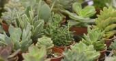 Fotografie Zelená sukulentní rostliny v květináčích