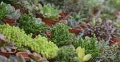 Zöld pozsgás növények edényben