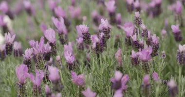 Purple Lavender flowers in garden