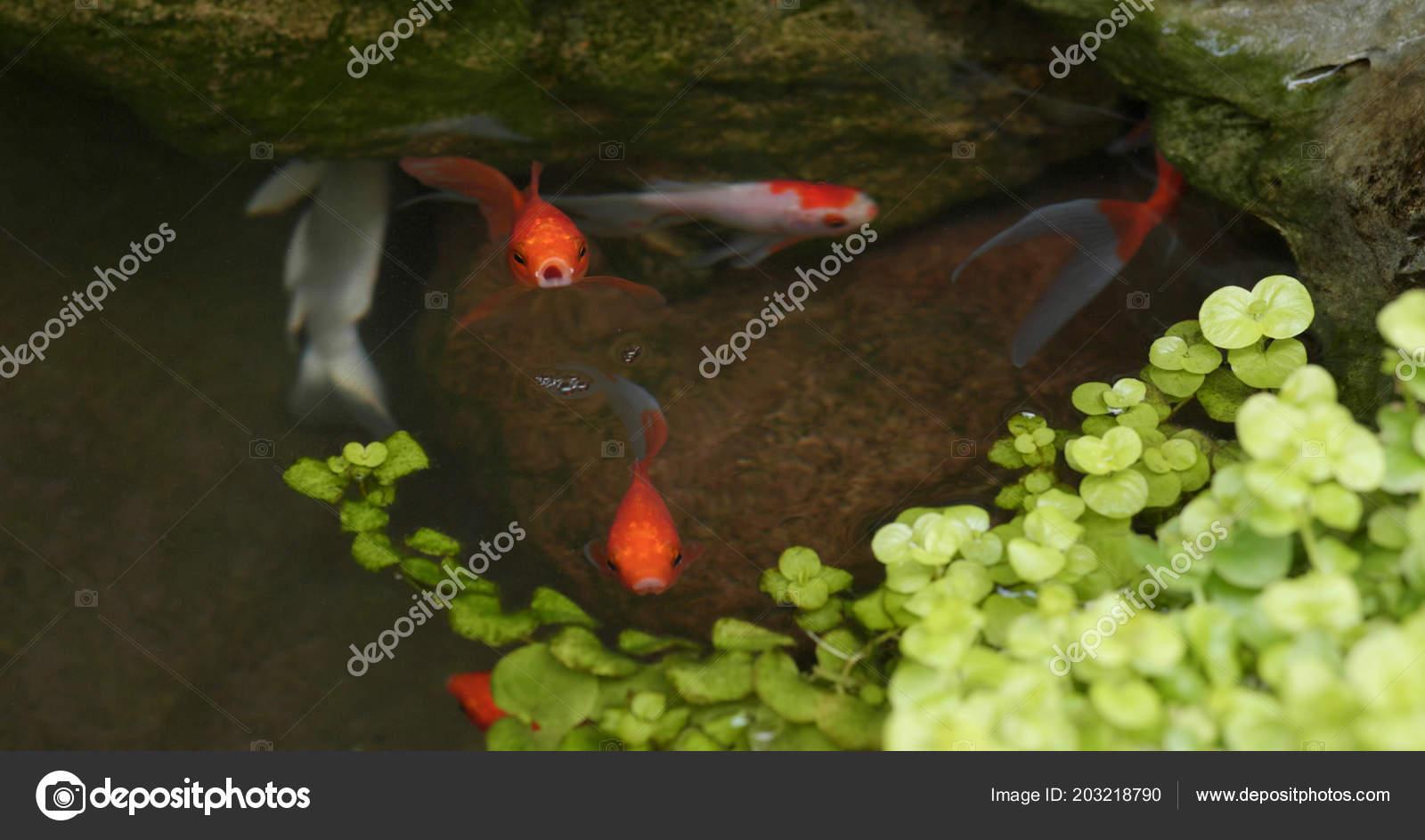 Fisch Teich Garten Hautnah Stockfoto Leungchopan 203218790