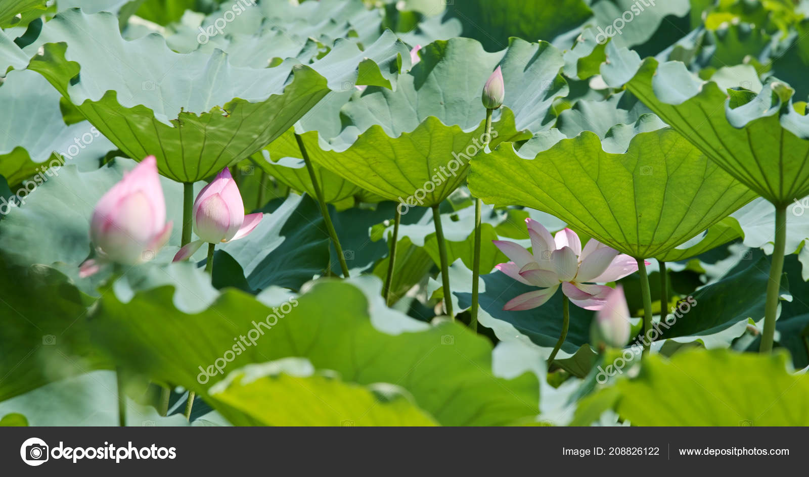 Pink Lotus Flowers Garden Stock Photo Leungchopan 208826122