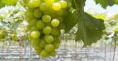 Fotografie Fresh green grape farm