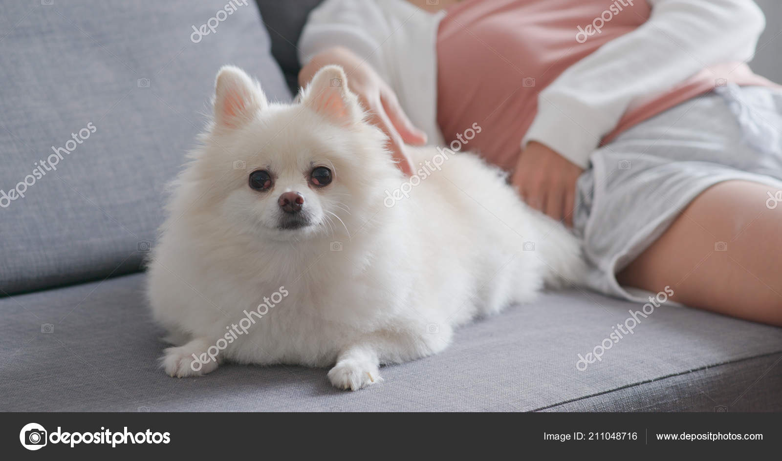 Pet Owner Touching White Pomeranian Dog Sitting Couch Stock Photo