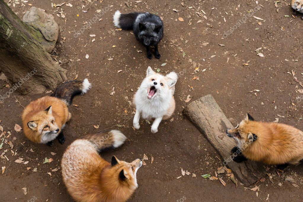 Group of foxes together in forest