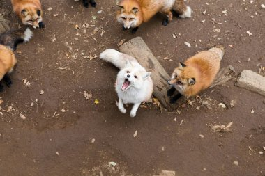 Group of Foxes looking up and waiting for food