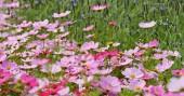růžové kosmu květiny na poli