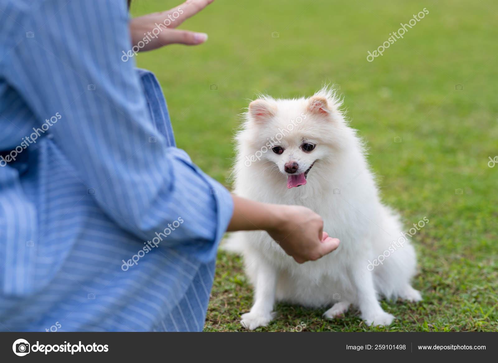 Woman Train On White Pomeranian Dog In The Park Stock Photo C Leungchopan 259101498