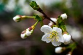 Cherry blossom. white-yellow flowers on a still completely bare tree, green leaves have just started to bloom