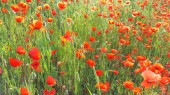 Flower meadow in summer with red poppies