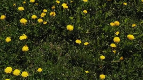 Dandelion meadow. Flight over the meadow with juicy dandelions.