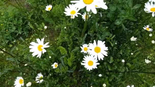 Daisies in the meadow are moving in the wind