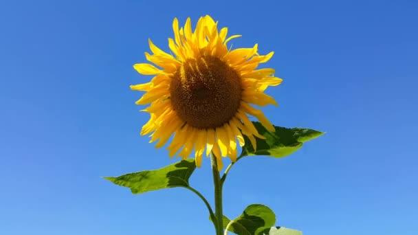 Sluneční květiny se pohybují ve větru proti modré obloze