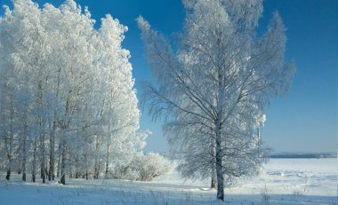 A line of birches in a deep snowdrift on scintillating snow, in frosty clear day
