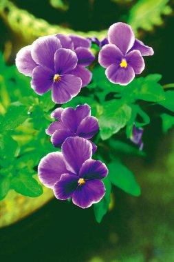 Close view of bright purple flowers on green background