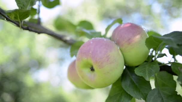 tři jablka na stromě