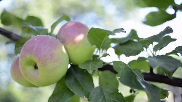 zralá jablka na stromě