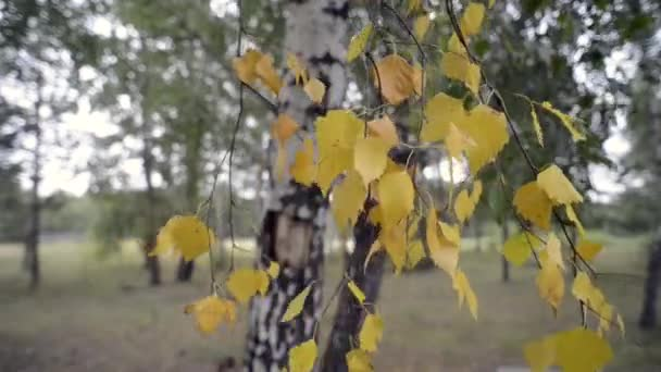 Bříza strom listoví