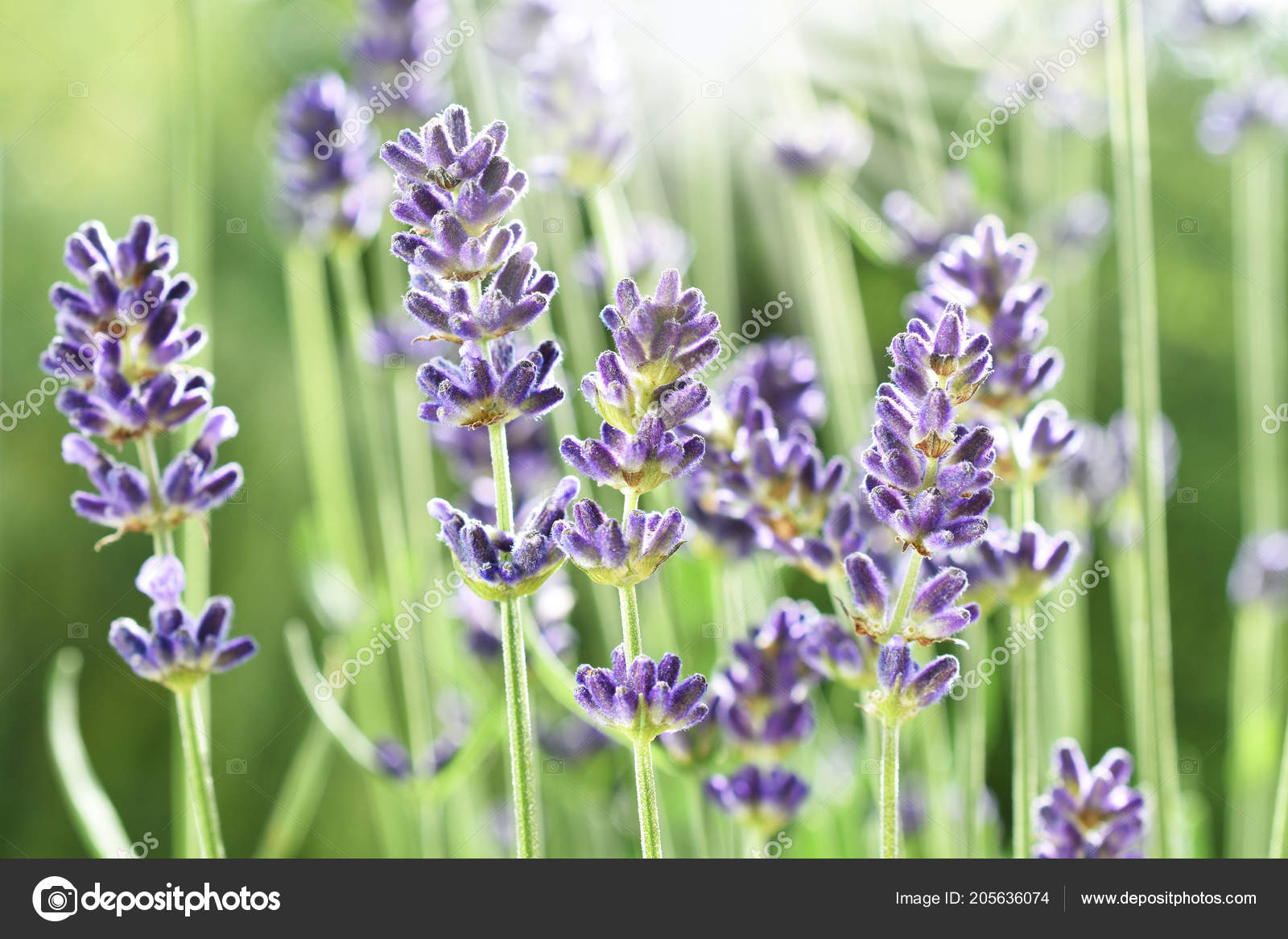 Closeup beautiful lavender flowers blooming garden sunlight closeup beautiful lavender flowers blooming garden sunlight izmirmasajfo