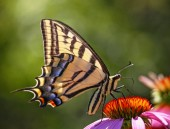 Swallowtail Butterfly feeding on a purple cone flower