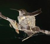 Photo cute female hummingbird in a nest built on party string lights