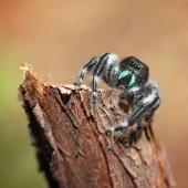 Fotografie mutige Jumper Spinne am Spieß