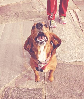 cute basset hound jumping at the camera toned with a retro vintage instagram filter